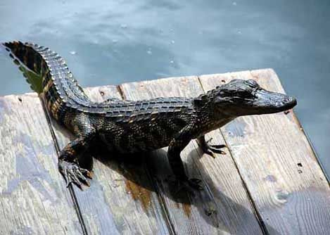 An alligator sits on a boat dock in Florida