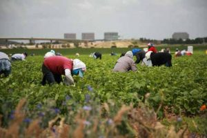 Migrant farm workers pick vegetables in a field.